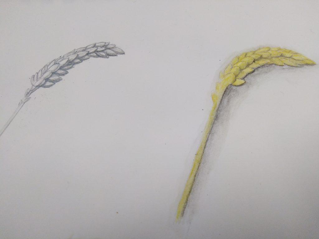 dessin épis de blé